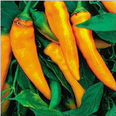 Tequila Sunrise Sweet Peppers SP260-20_Base