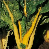 Bright Yellow Swiss Chard SW6-50_Base