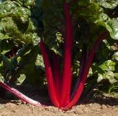 Ruby Red Swiss Chard SW10-50_Base