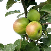 Apple Tree TR2-20