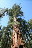 Giant Sequoia Redwood Tree TR28-10_Base