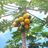 Papaya, Hawaiian Papaya, Papaya Tree Seeds, Hawaiian Papaya Tree ...