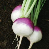 Purple Top White Globe Turnips TP1-100_Base