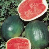 Black Diamond Watermelons (Yellow Belly) WM37-20_Base