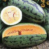 Orangeglo Watermelons WM41-10_Base