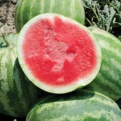Red Rock Watermelons (Seedless) WM66-5_Base