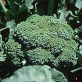 Premium Crop Broccoli BR5-50_Base