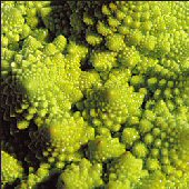 Romanesco Italia Broccoli BR16-50_Base