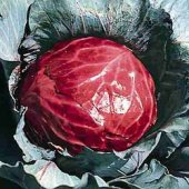 Mammoth Red Rock Cabbage CB4-50_Base