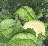 Savoy Perfection Cabbage CB45-50_Base