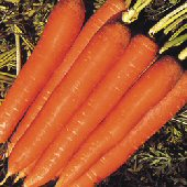 Nantindo Carrots CT28-100_Base