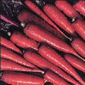 Purple Dragon Carrots CT5-100