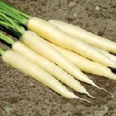 White Satin Carrots CT35-100