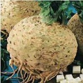 Giant Prague Celeriac CL6-100_Base