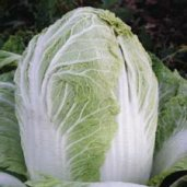 China Express Chinese Cabbage CB16-50