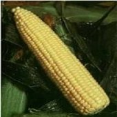 Golden Queen Corn CN15-50