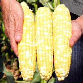 Gotta Have It Corn CN37-50_Base