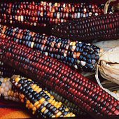 Indian Ornamental Corn (Small Kernels) CN40-50_Base
