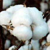 Buranda White Cotton CO6-10_Base