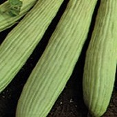 Armenian Yard Long Cucumbers CU53-20