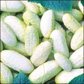 Miniature White Cucumbers CU60-20