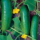 Persian Middle East Cucumbers CU19-20_Base