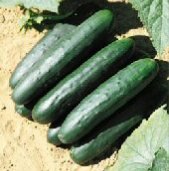 Raider Cucumbers CU69-20_Base