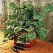 Salad Bush Cucumbers CU98-10_Base