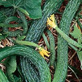 Suyo Long Cucumbers CU25-20_Base