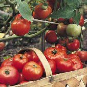 Tomatoes Alive Plus Organic Fertilizer FZ16