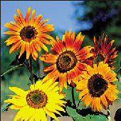 Sunflower Flowers (Autumn Beauty Mixed) FL111-25_Base