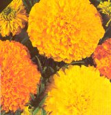 African Marigold Flowers (Crackerjack Mixed) FL16-100_Base