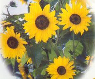 Sunflower Flowers (Ebony & Gold) FL43-25