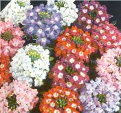 Verbena Flowers (Ideal Florist Mixed) FL26-100_Base