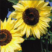 Sunflower Flowers (Lemon Queen) FL44-25_Base