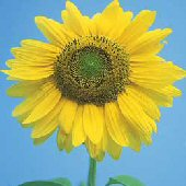 Sunflower Flowers (Mammoth Gray Striped) FL125-25_Base