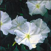 Moonflower Flowers (White) FL34-50_Base