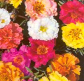 Portulaca Flowers (Double Mixed) FL22-100_Base