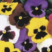 Pansy Flowers (Mixed) FL37-100_Base