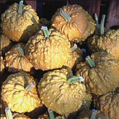 Orange Warted Gourds GD11-10_Base