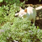 Catmint HB19-100_Base