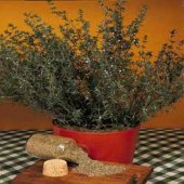 English Thyme HB72-100_Base