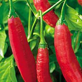Aji Colorado Hot Peppers HP22-10