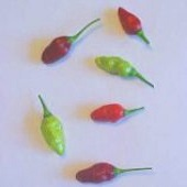 Aji Piquante Hot Peppers (Strain 2) HP1512-10