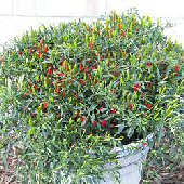 Chinese Ornamental Hot Peppers HP762-10_Base