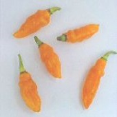 Datil Hot Peppers (Orange) HP1948-10_Base