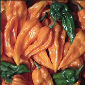 Fatalii Hot Peppers (Golden Yellow) HP1810-10