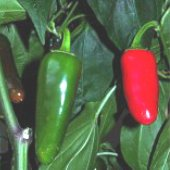 Jalapeno Hot - Hot Peppers HP127-20