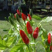 Mak Phet Hot Peppers HP1914-10