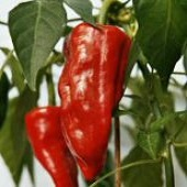 NuMex Chimayo Hot Peppers HP1307-20